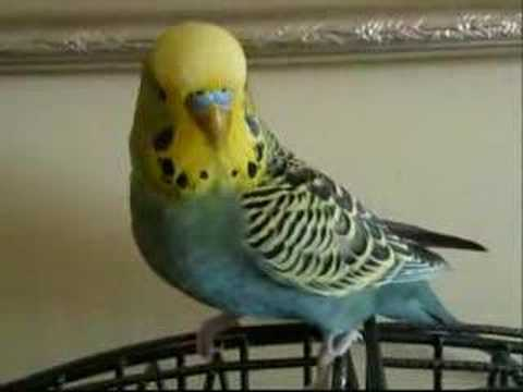 Erwin, the Talking Budgie Speaks Up! Aussie Budgerigar