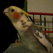 "Cockatiel sings ""If Your Happy & You Know it"" and talks"