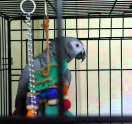 Best talking parrot in the world! Clover knows 350+ words (with subtitles)