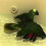 Charlie the crazy bird that says WTF getting a bath blue fronted amazon