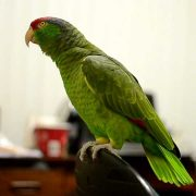 Talking Amazon Parrot