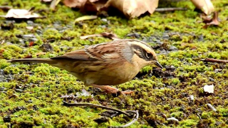 Siberian Accentor at Easington, E