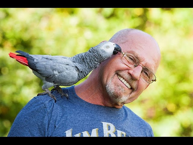 Owning African Greys as Pets !