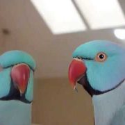 5 Yrs Old Indian Ringneck Sky- Talking (new words), following directions, playing with toys