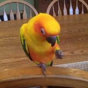 Sun Conure laughing and saying hello