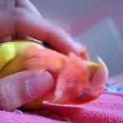 Lovebird loves to cuddle