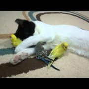 Cat and budgerigar inseparables