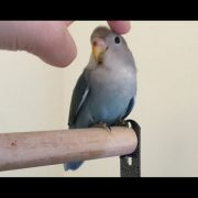 How to hand tame a lovebird in 5 days