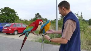 Cherry a Blue…free flight macaw blue and gold macaw with Green-w …