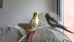 Cockatiel has the 'Game of Thrones' theme stuck in his head