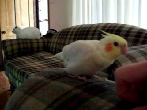 cockatiel gets angry when he stops getting a scratch