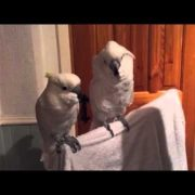 cockatoo loves elvis