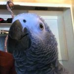 Whiskey the Pirate - African Grey Parrot Talking up a storm