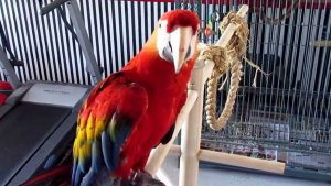 LARGE SINGING – DANCING – TALKING MACAW