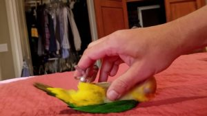 Mango the Caique Gets Belly Rub (Video)