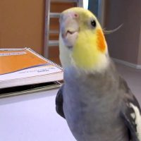 Cockatiel Whistling