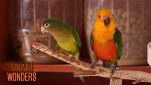 What's a Conure?