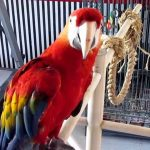 LARGE SINGING - DANCING - TALKING MACAW