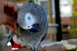 African Greys Are NOT Cuddly Birds