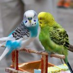 Budgerigar singing, chirping