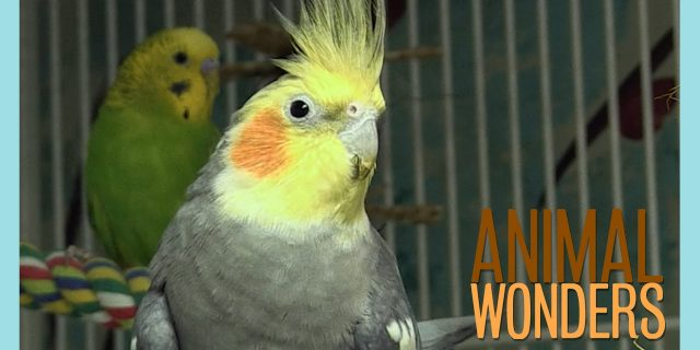 Real Talk with Steve the Cockatiel