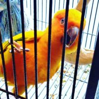 My Crazy Sun Conure Arguing with Himself