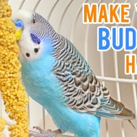 Budgerigar Care | Keeping your Budgie happy