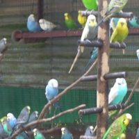 Budgerigar Aviary in Hong Kong