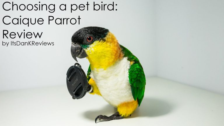 Choosing a Pet Bird - Caique Parrot Review