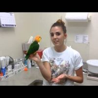 White bellied caique Personality & Behavior