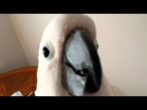 Argue With A Cockatoo