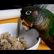 Cute Parrots; Funny Talking Green Cheek Conure Compilation