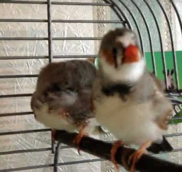 my zebra finch singing nicely