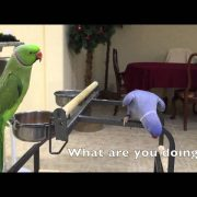 Indian ringnecks talking to each other
