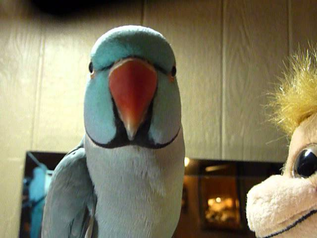 3 yr old Indian Ringneck Parrot Talking clearly to his new monkey :-)