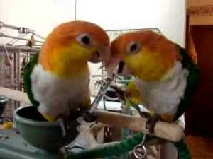 the argument  Caique