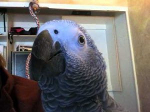 Whiskey the Pirate – African Grey Parrot Talking up a storm