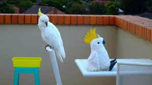 Cockatoo meets an Imposter – Funny