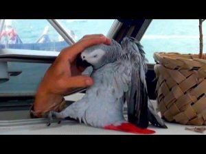 """FUNNIEST Parrot Ever… Meet Our Grey Parrot """"Lucky"""" Living on a Sailboat in the Caribbean!"""