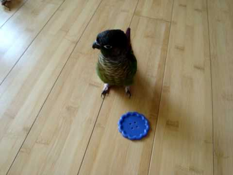 Green Cheeked Conure Tantrum