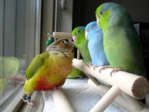 Conure being sweet with baby Parrotlets