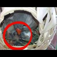 Zebra Finch feeding babies HD Closeup - Feeding Baby Bird