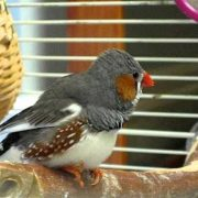 Zebra Finch singing its heart out