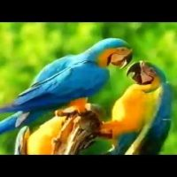 Macaw Documentary