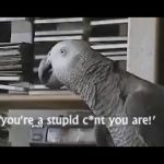 BIRDS CURSING COMPILATION 2 AFRICAN GREY PARROTS SWEARING COMP ELECTUS CUSSING VULGAR COCKATOO