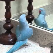 My Parrot (mithu) Indian Ringneck dancing and more