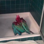 Macaw - can't wait to shower