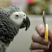 Alex the Smart Parrot - Talking bird distinguishes colors, shapes, sizes, numbers