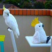 Cockatoo meets an Imposter - Funny