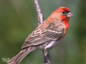 Red House Finch Song – bird  Singing